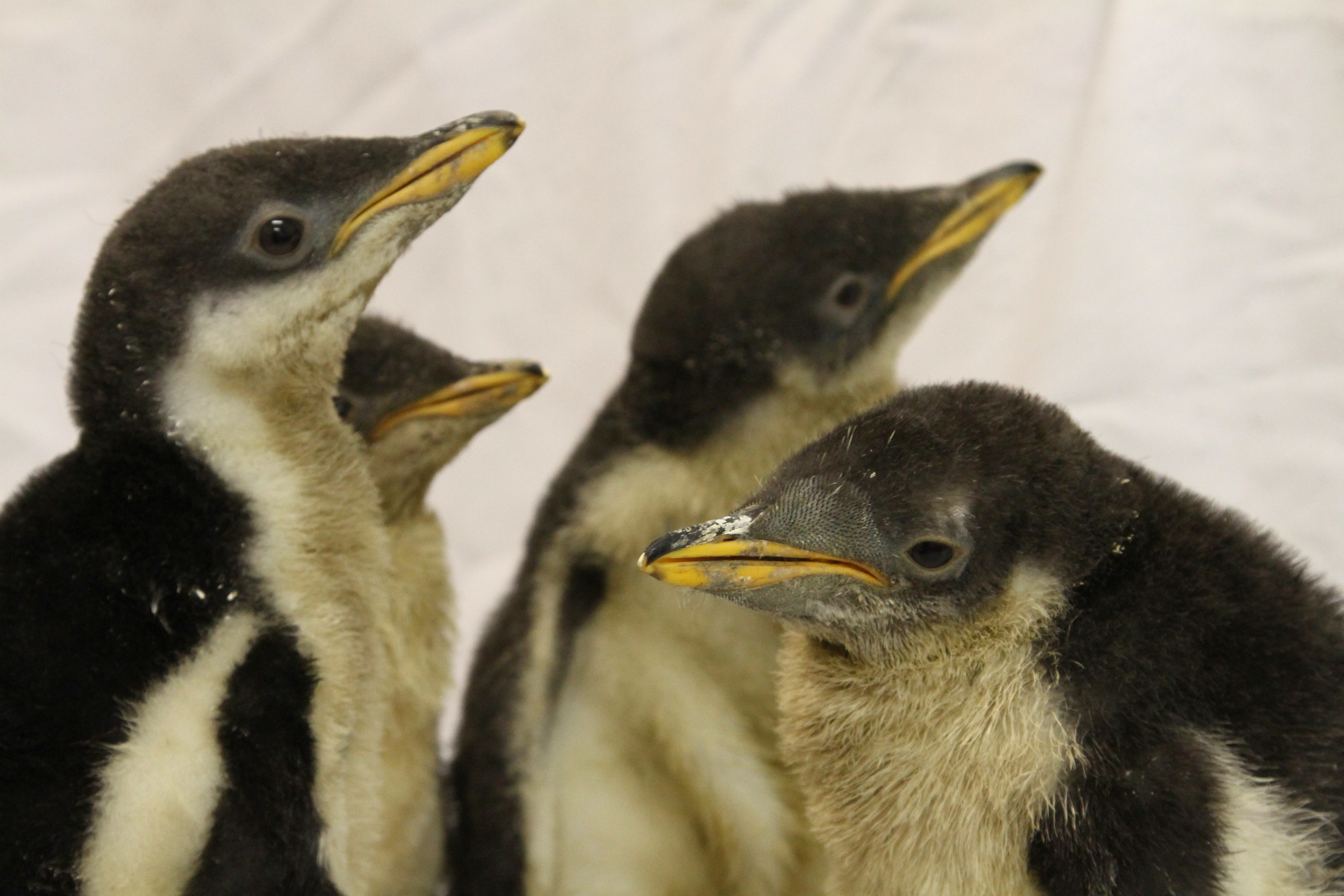 Moody Gardens penguin chicks