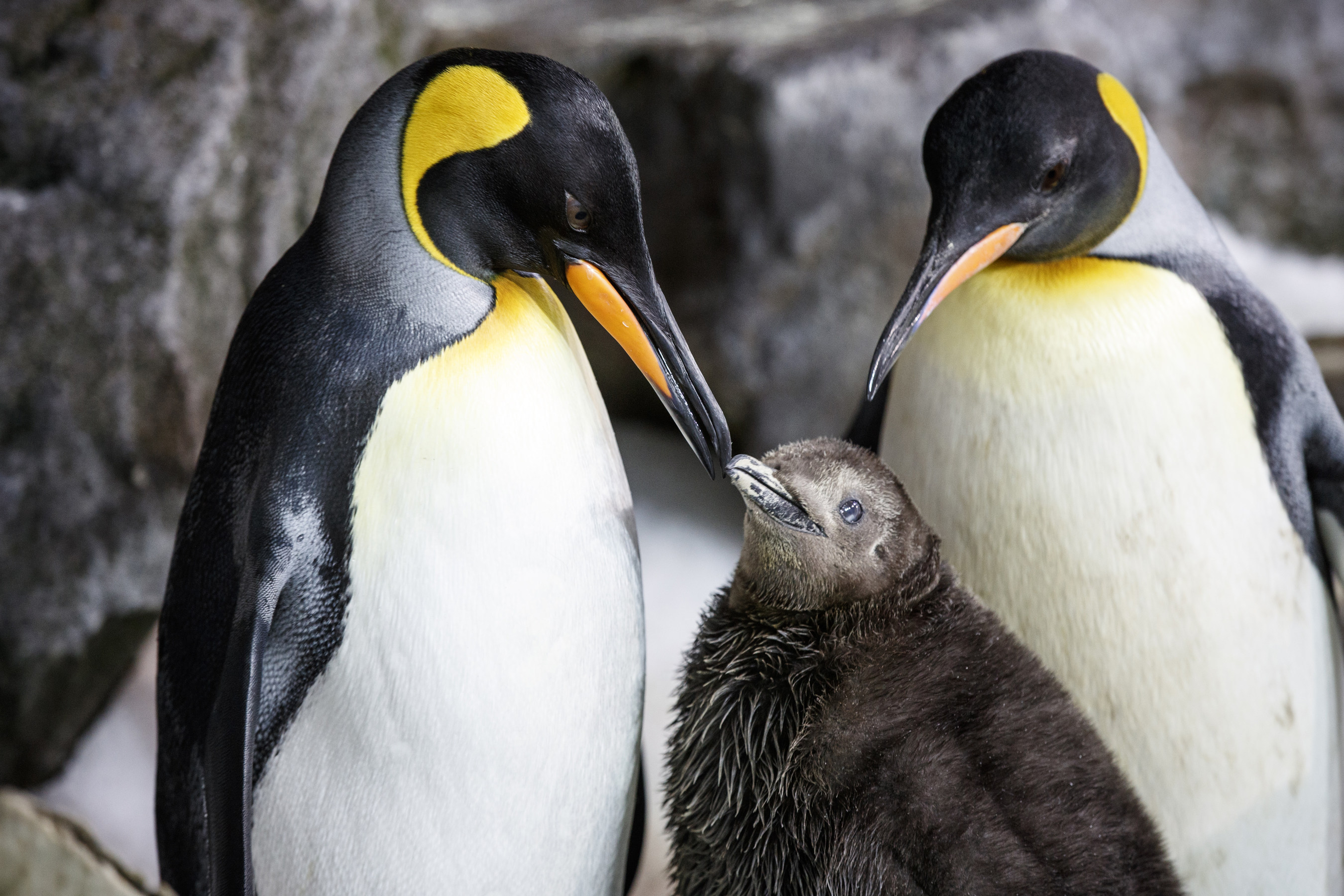 world penguin day, new zealand