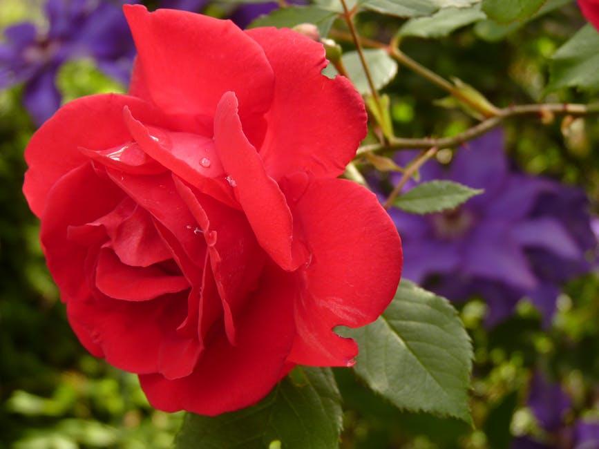 National garden bureau calls the year of the rose latf usa