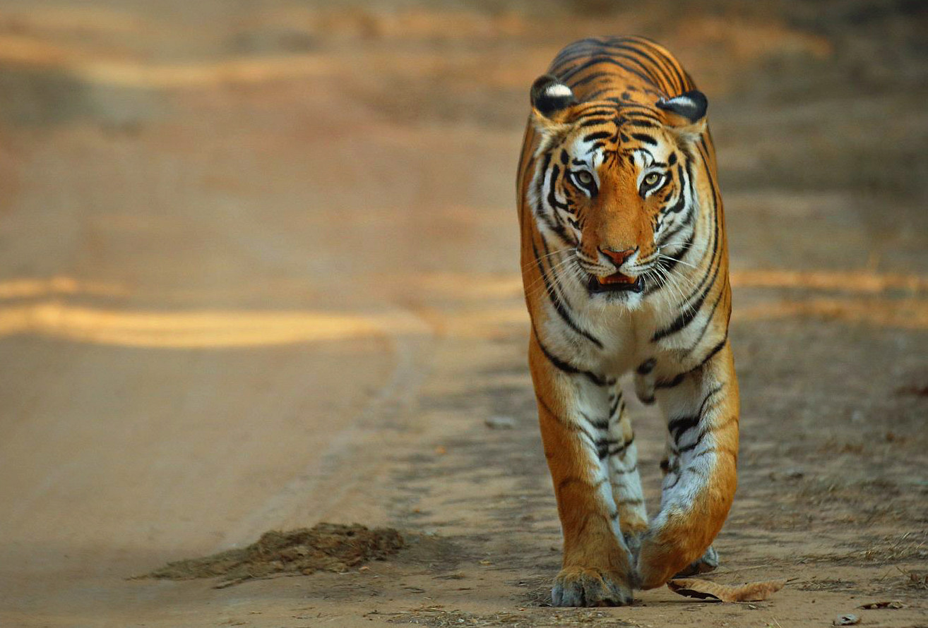 tiger tour, india, mariellen ward