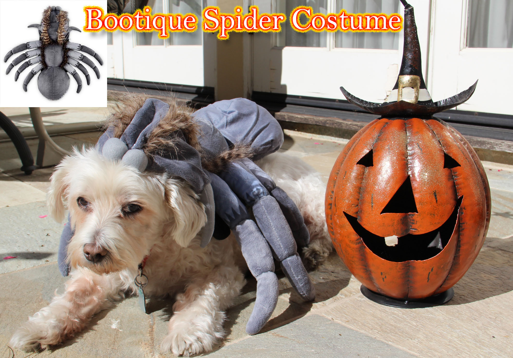 Petco halloween costume, spider